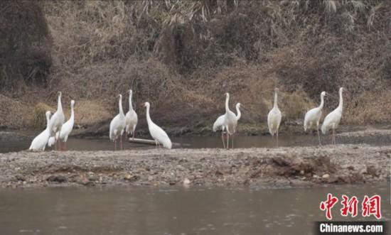 粤北首次发现国家一级保护野生动物白鹤